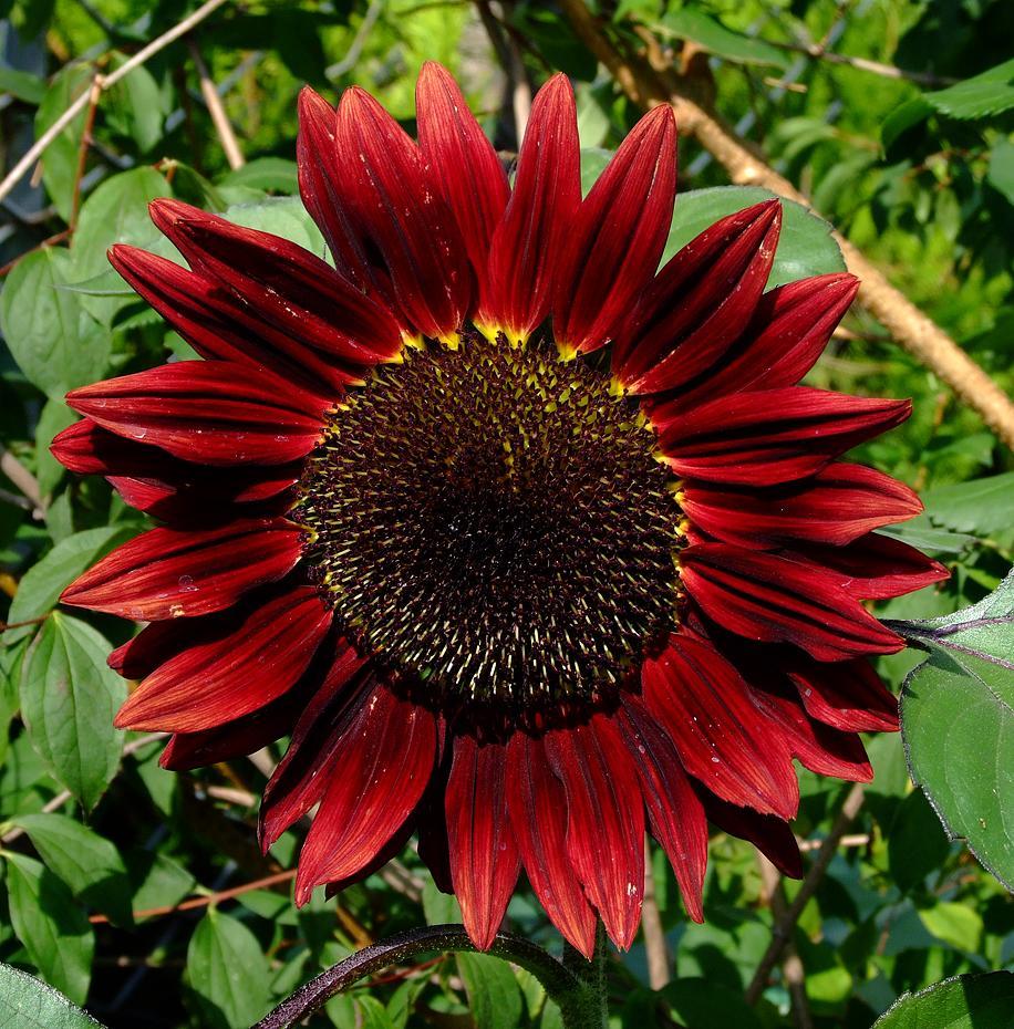 Rote Sonnenblume Beim Eingang